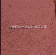 CHO/ dhfr-仓鼠卵巢(缺陷型)CHO/ dhfr-