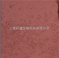 RAW264.7小鼠单核细胞-巨噬胞 RAW264.7