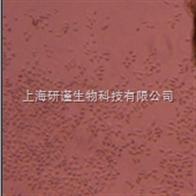 SK-MES(人肺鳞癌细胞)